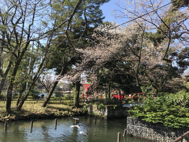 洗足池の桜、島の周り