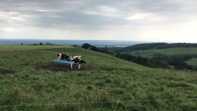ナイタイ高原牧場の牛